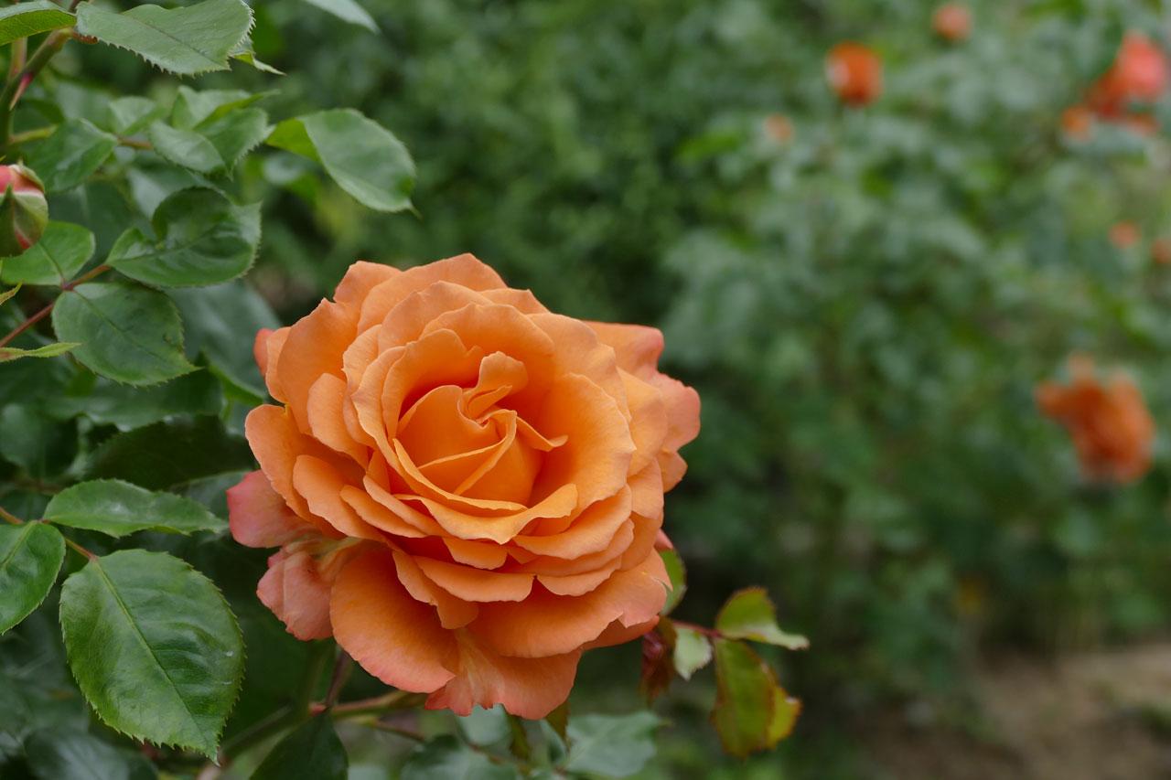 いくとぴあ食花でバラを撮る