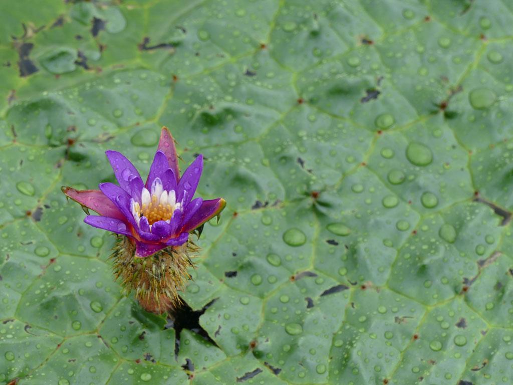 福島潟で雨の日のオニバス