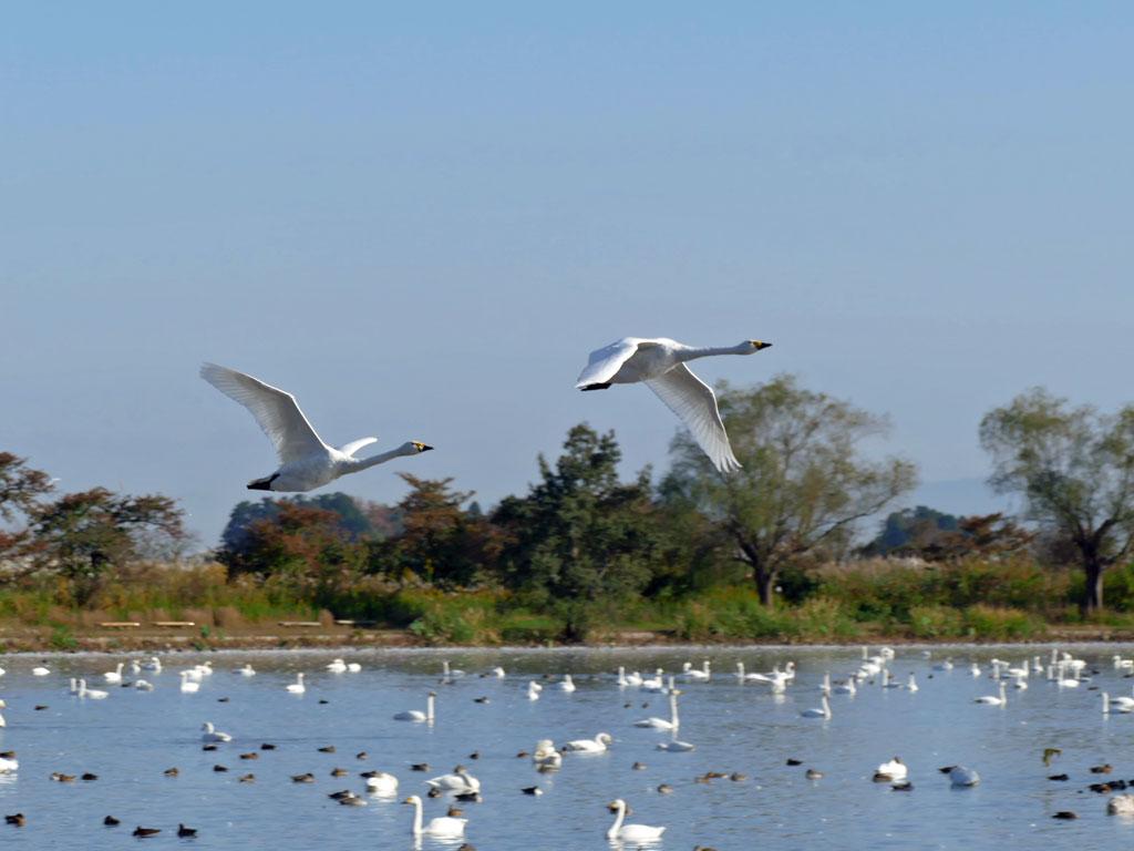瓢湖の白鳥3:LUMIX DMC-FZ1000