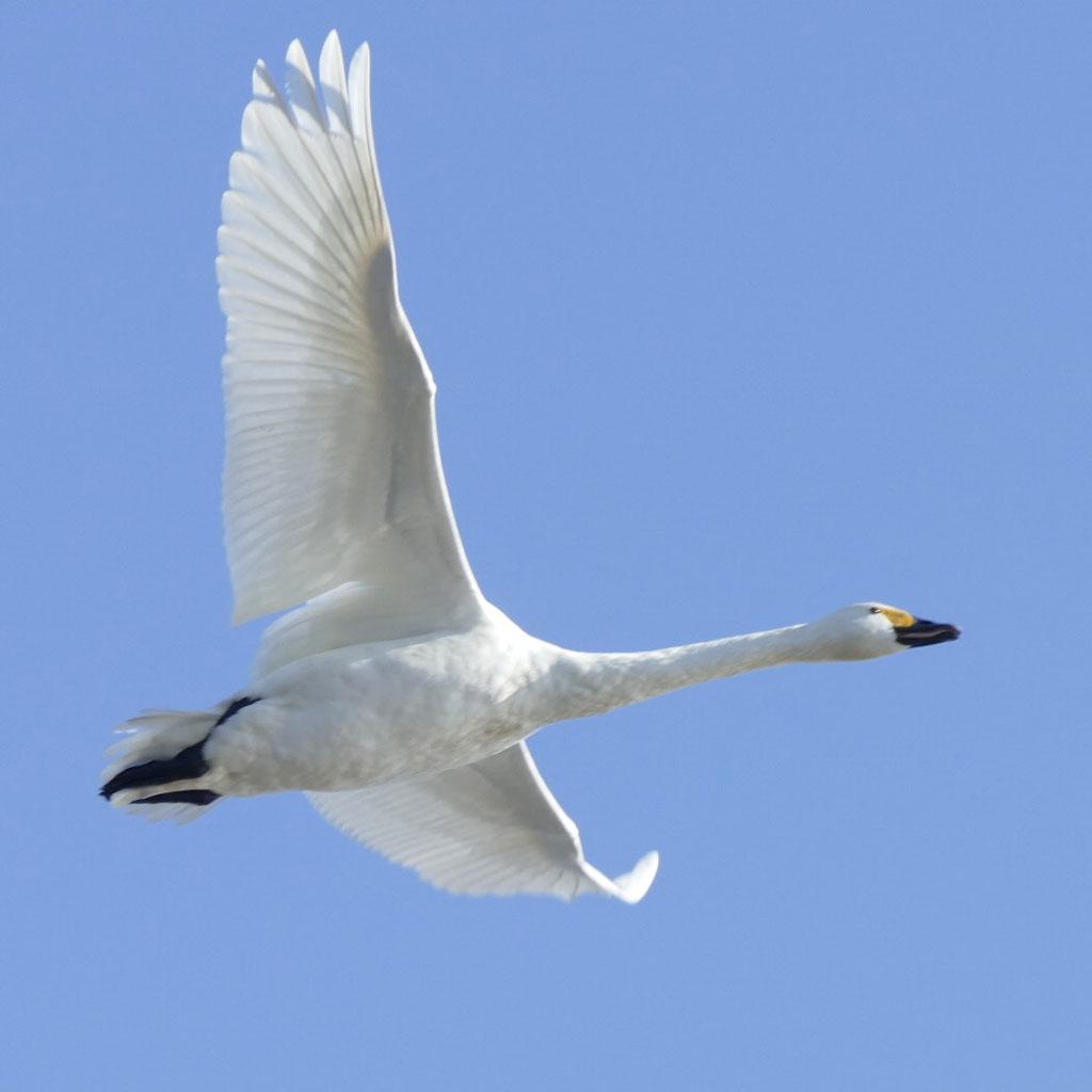 瓢湖の白鳥6:LUMIX DMC-FZ1000
