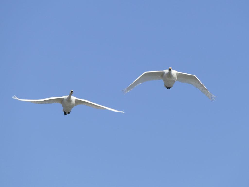 瓢湖の白鳥7:LUMIX DMC-FZ1000