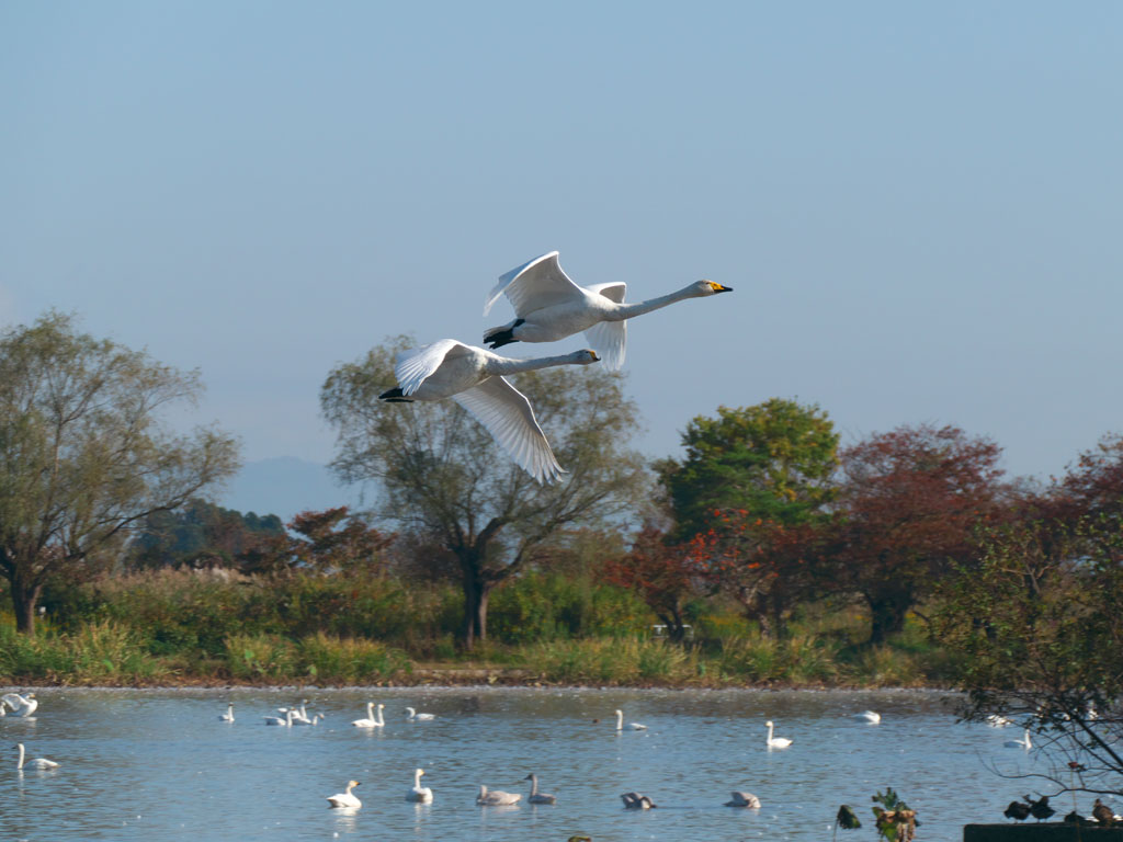 瓢湖の白鳥8:LUMIX DMC-FZ1000