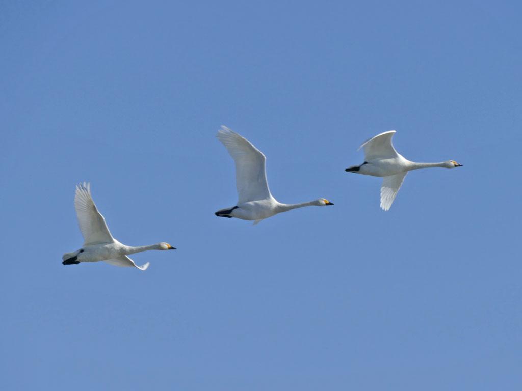 瓢湖の白鳥5:LUMIX DMC-FZ1000