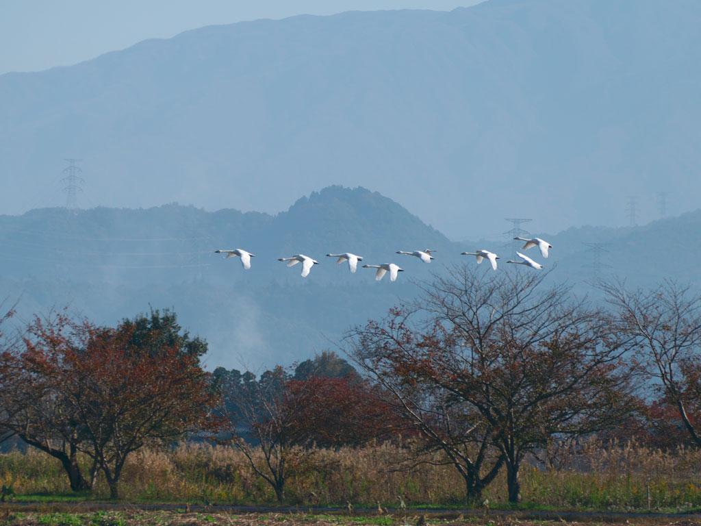 瓢湖の白鳥4:LUMIX DMC-FZ1000