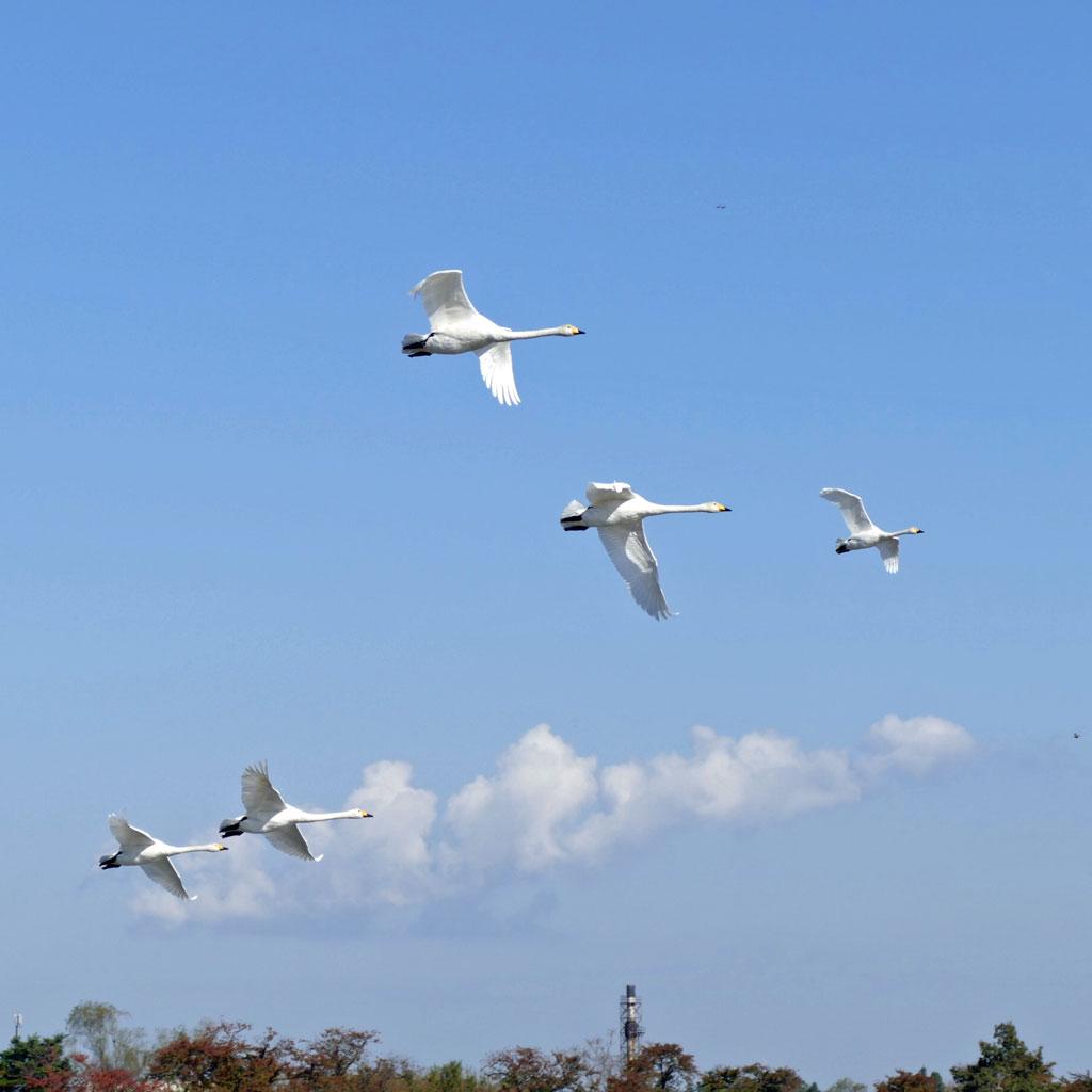 瓢湖の白鳥1:LUMIX DMC-FZ1000