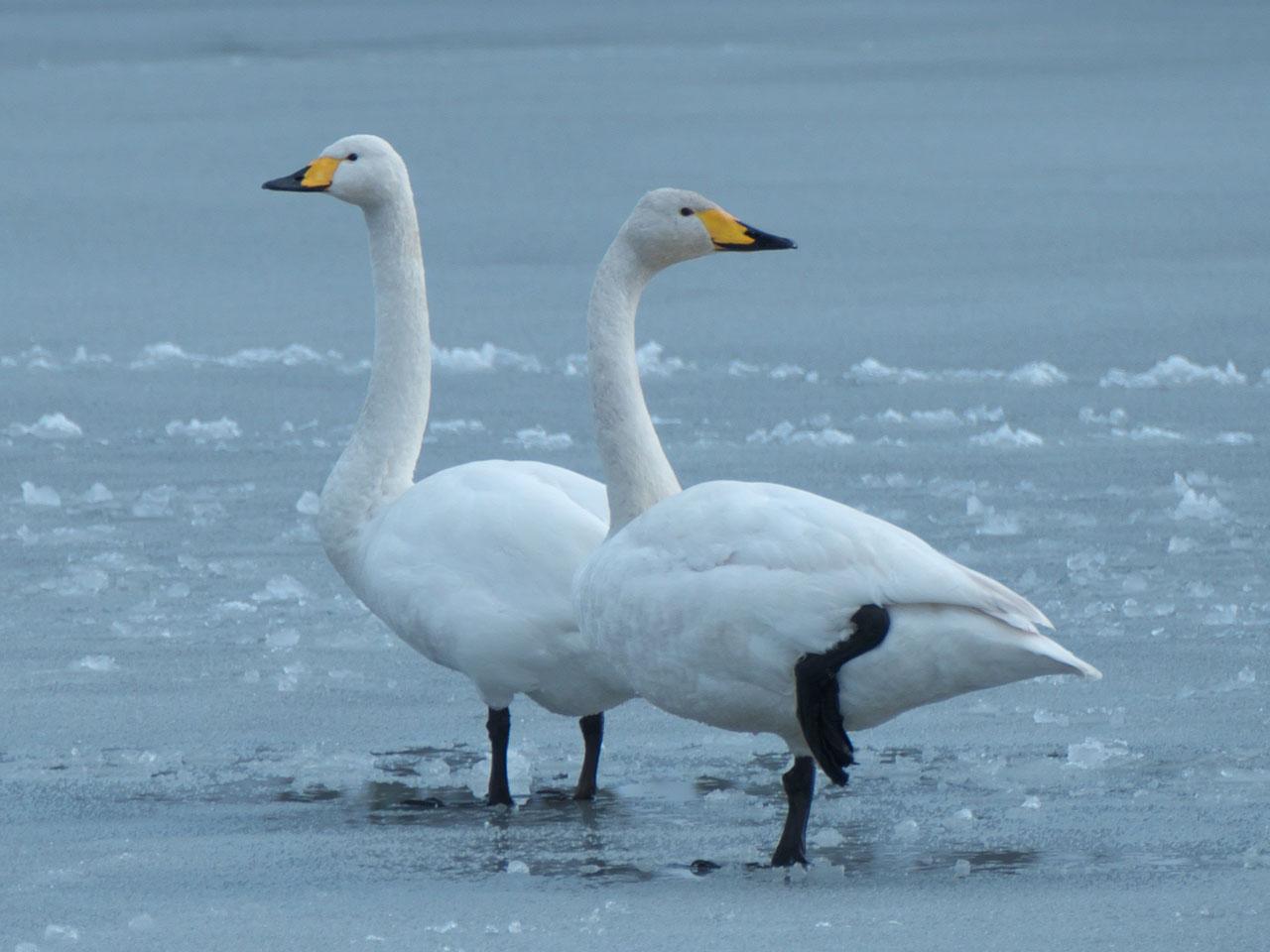 氷の上を歩く白鳥と鴨<br>~新発田市五十公野公園にて