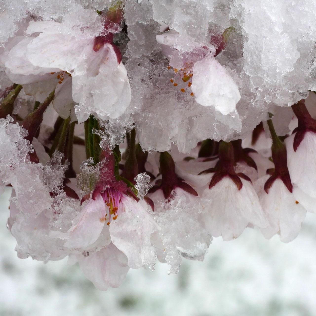 満開の桜に雪・・・!新発田城址公園