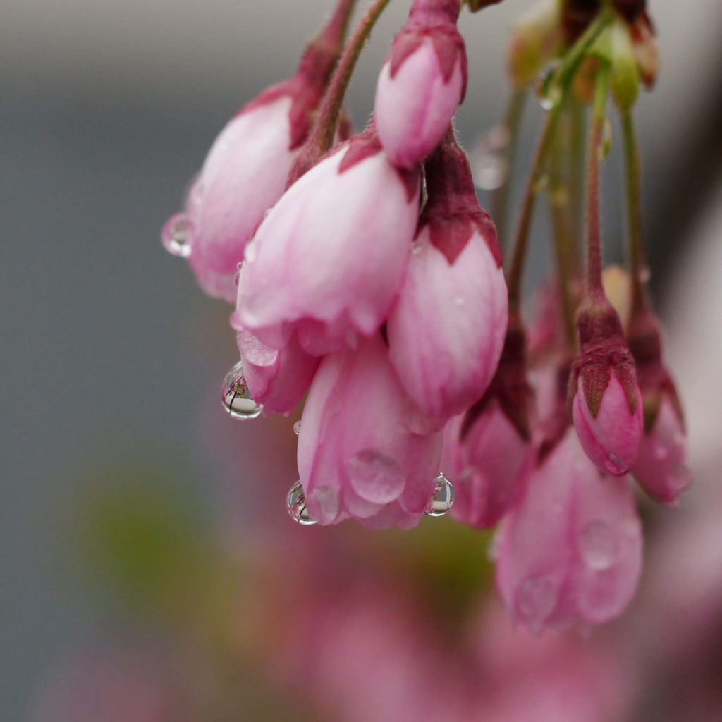 雪と桜の新発田城址公園5:LUMIX DMC-GX7MK2+M.ZUIKO DIGITAL ED 60mm F2.8 Macro