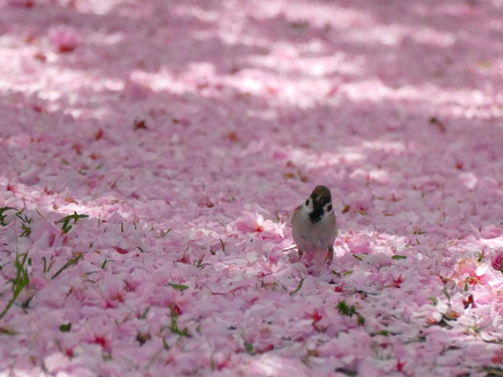 瓢湖の八重桜とスズメ1:LUMIX DMC-FZ1000