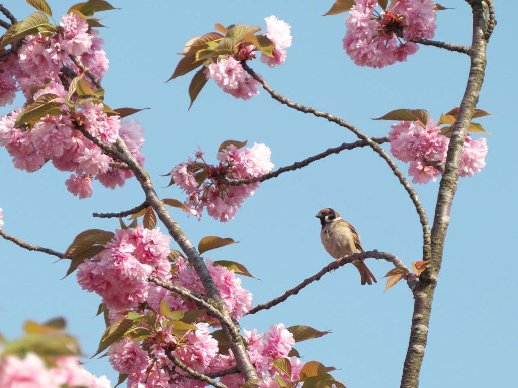 瓢湖の八重桜とスズメ7:LUMIX DMC-FZ1000