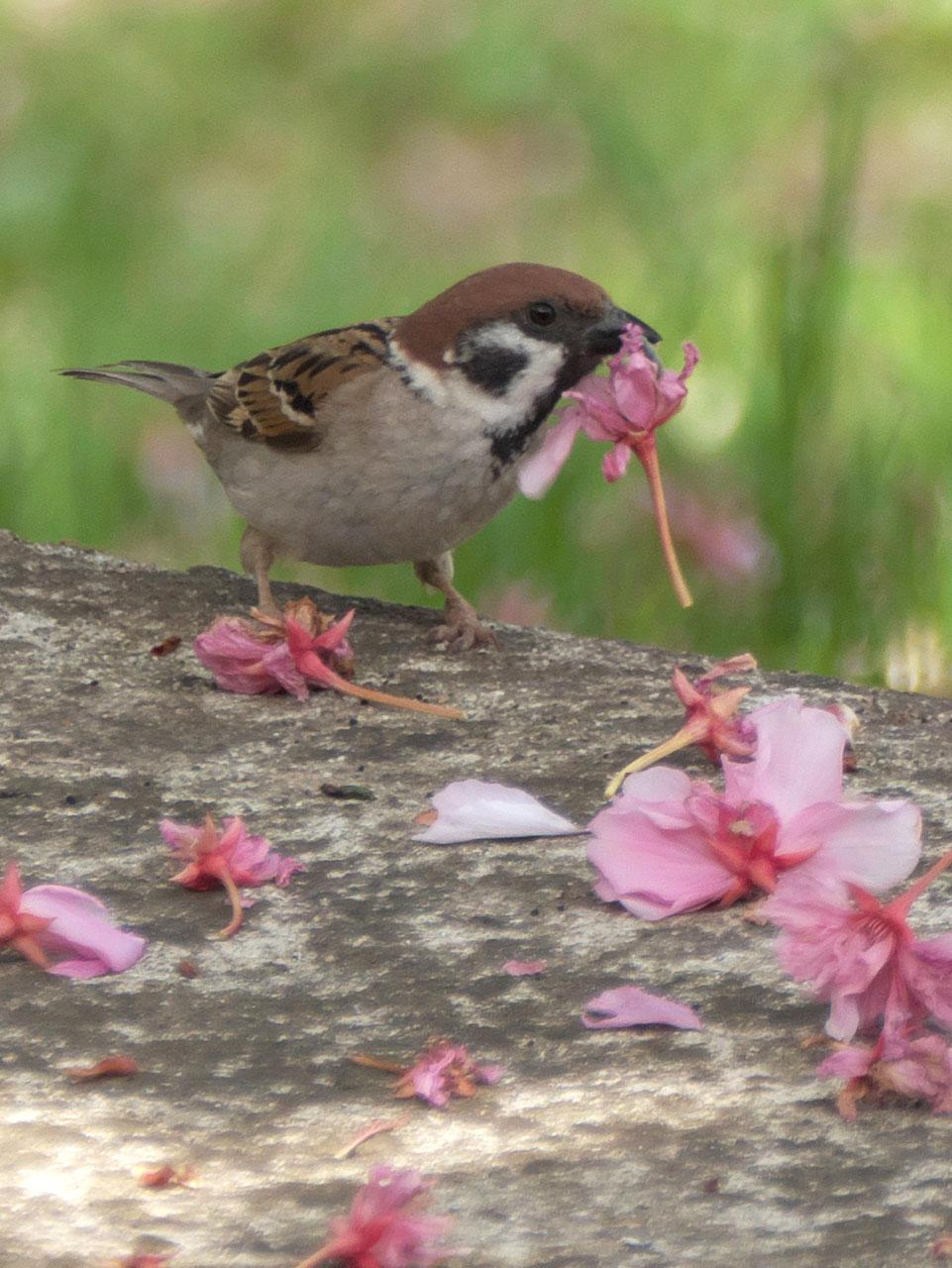 散り際の八重桜とスズメ