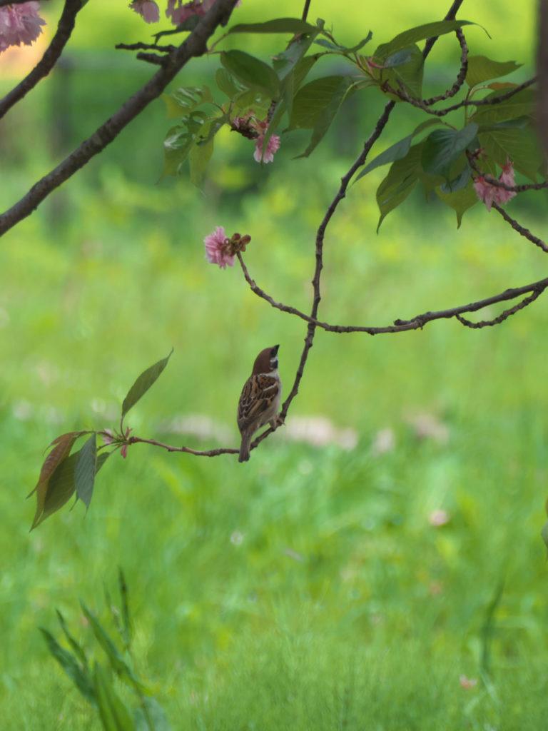 瓢湖の八重桜とスズメ6:LUMIX DMC-FZ1000