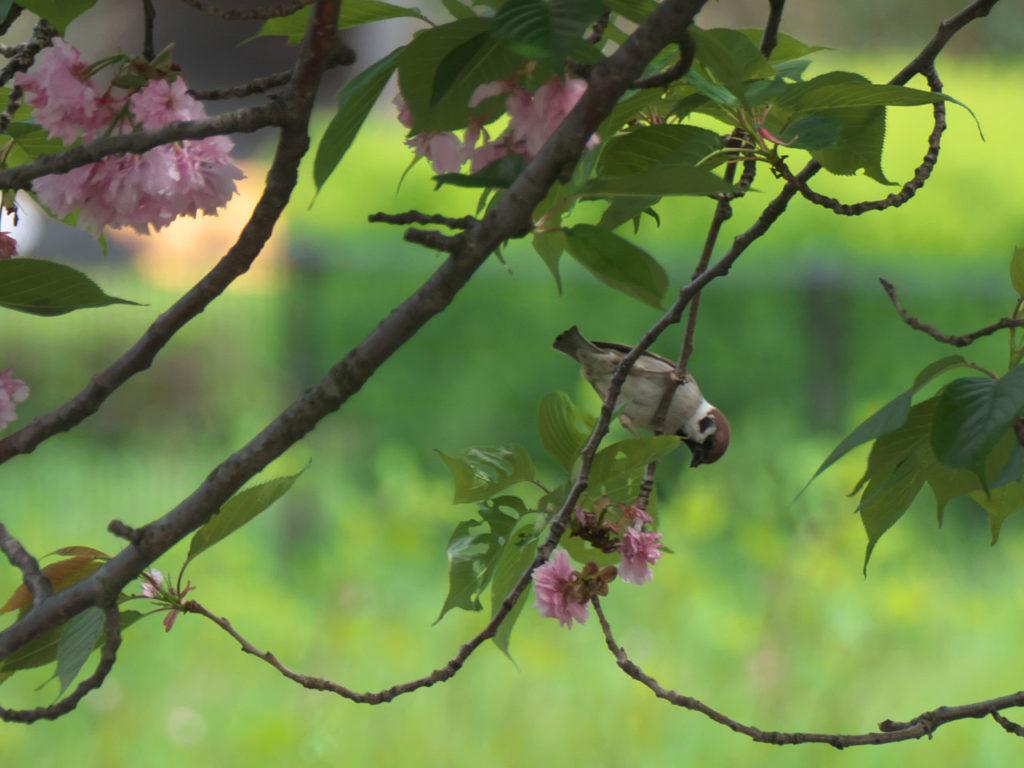 瓢湖の八重桜とスズメ5:LUMIX DMC-FZ1000