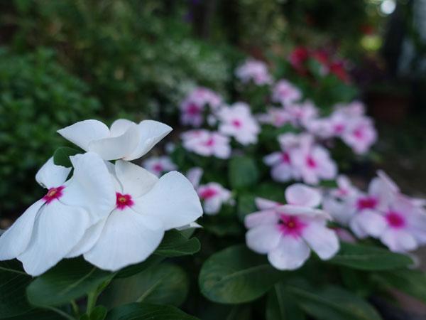 庭のニチニチソウ1