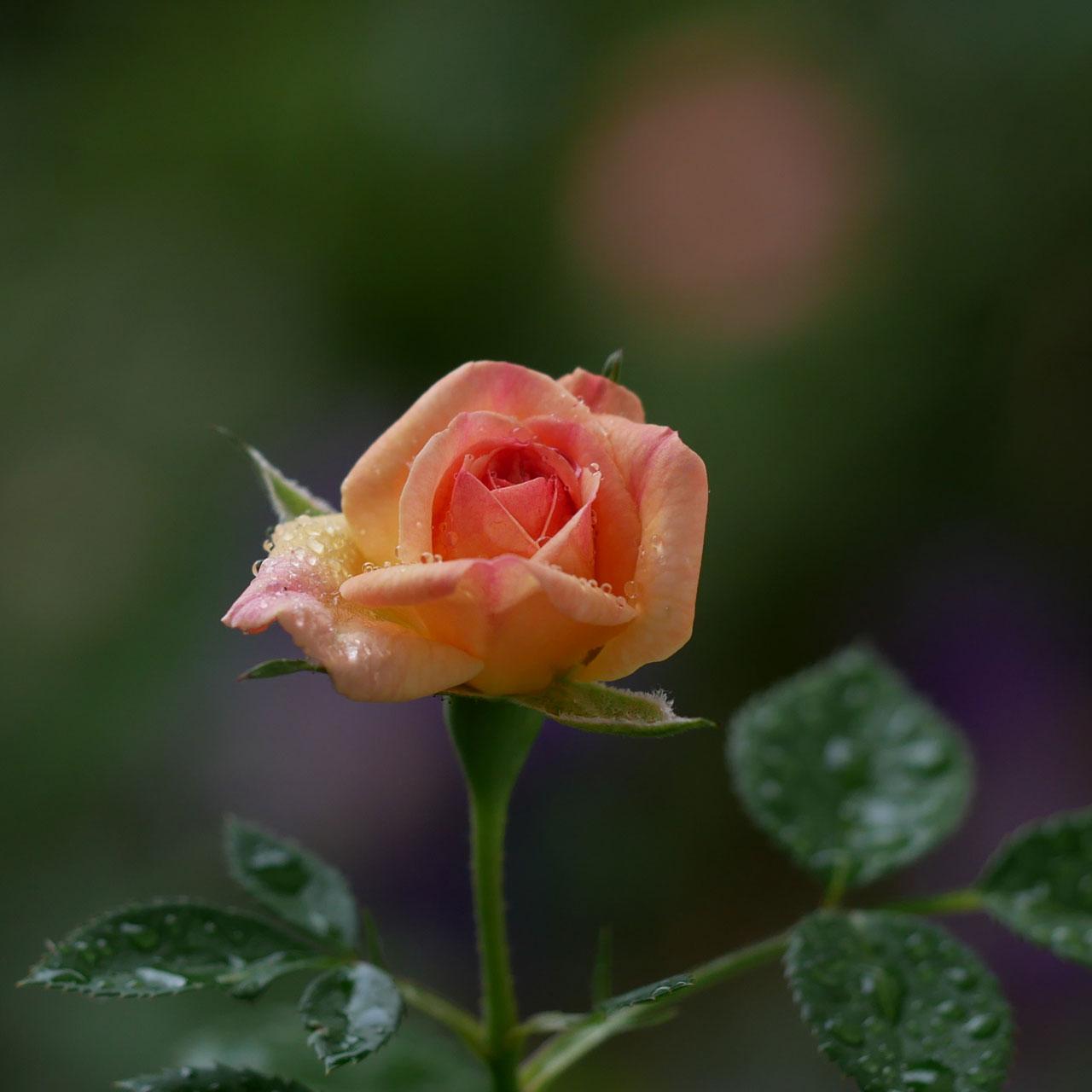 瀕死状態だったバラが咲いた・・・!