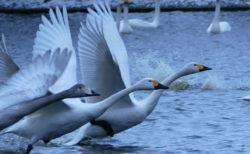 お幕場大池公園の白鳥