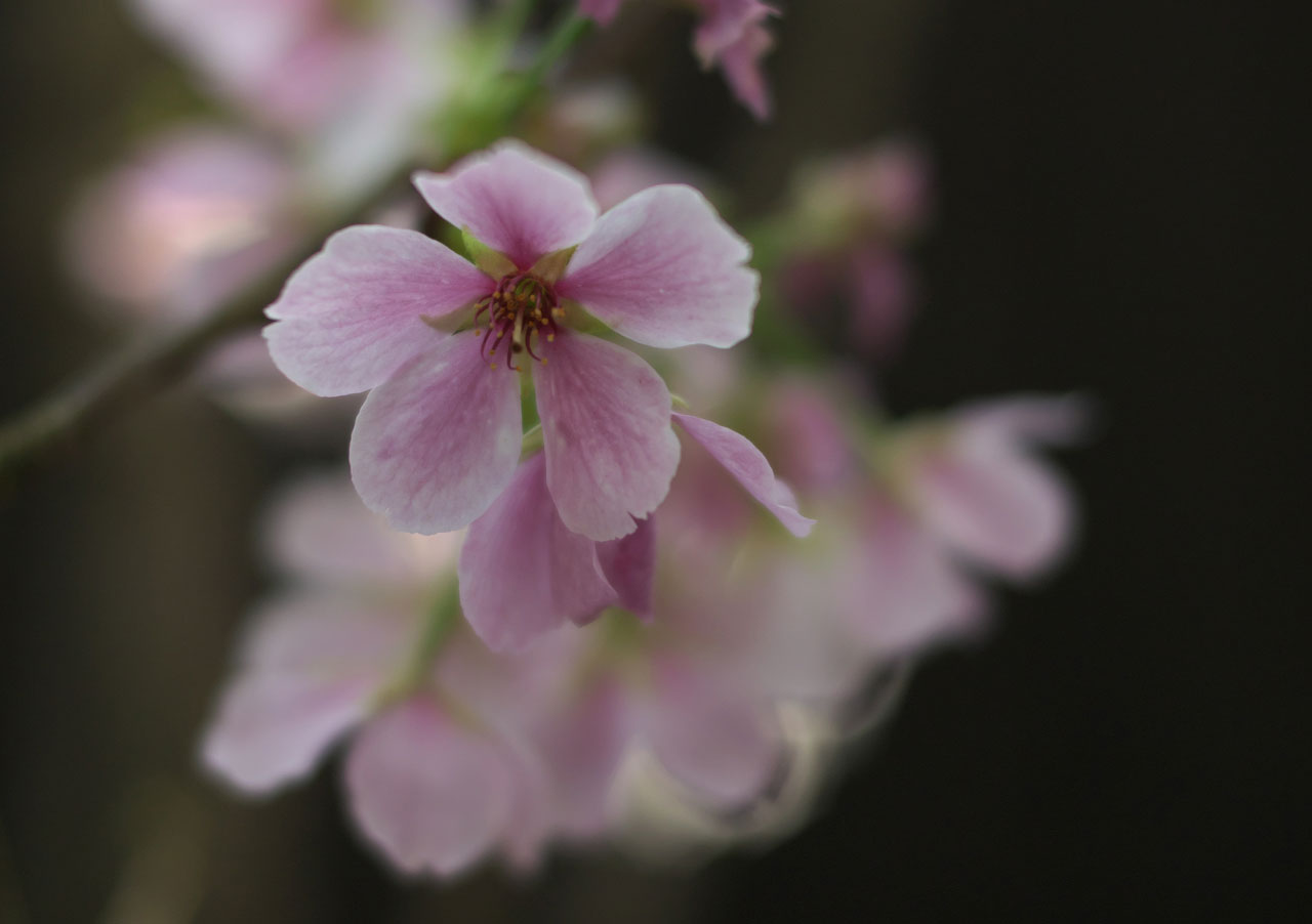 新潟県立植物園結桜3:LUMIX DMC-GX7MK2+NOKTON 25mm F0.95 Type II