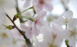 ひと足早い結桜を撮る~新潟県立植物園にて