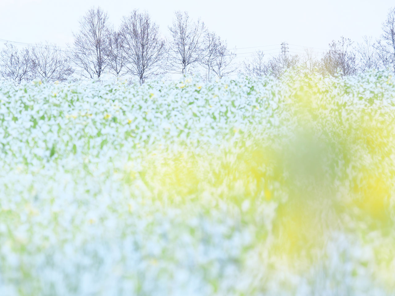 福島潟の雪と菜の花3:LUMIX DMC-GX7MK2K + LUMIX G VARIO 100-300mm/F4.0-5.6 II/POWER O.I.S. H-FSA100300