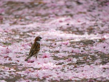 瓢湖の八重桜とスズメ
