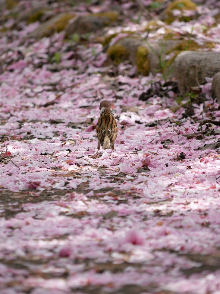 瓢湖の八重桜とスズメ2:LUMIX DMC-GX7MK2+LUMIX G VARIO 100-300mm/F4.0-5.6 II/POWER O.I.S. H-FSA100300
