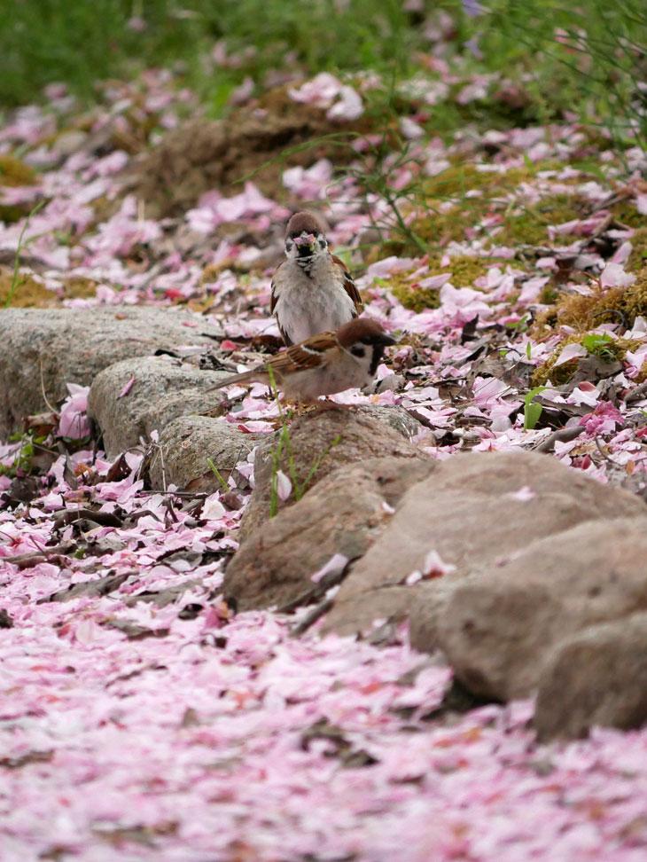 瓢湖の八重桜とスズメ5:LUMIX DMC-GX7MK2+LUMIX G VARIO 100-300mm/F4.0-5.6 II/POWER O.I.S. H-FSA100300