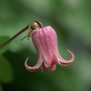 梅雨時が旬の被写体といえば、カタツムリ