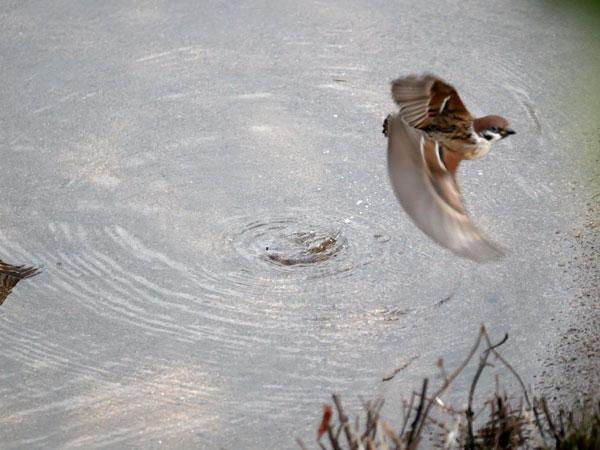 スズメの水浴び(4Kフォト5
