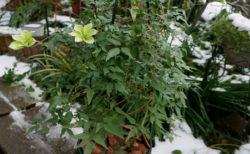 真冬だけどクレマチスの2番花が開花中