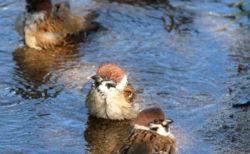 スズメの水浴びを撮るのが楽しくて