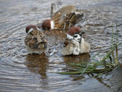 すずめの水浴び