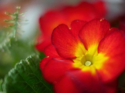 冬の花をnoktonでふんわり撮る