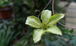 3月のクレマチス・・・和名の小さな苗も仲間入りして、いつの間にか20種に