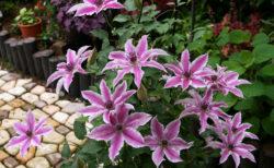 早咲き大輪系クレマチス開花中