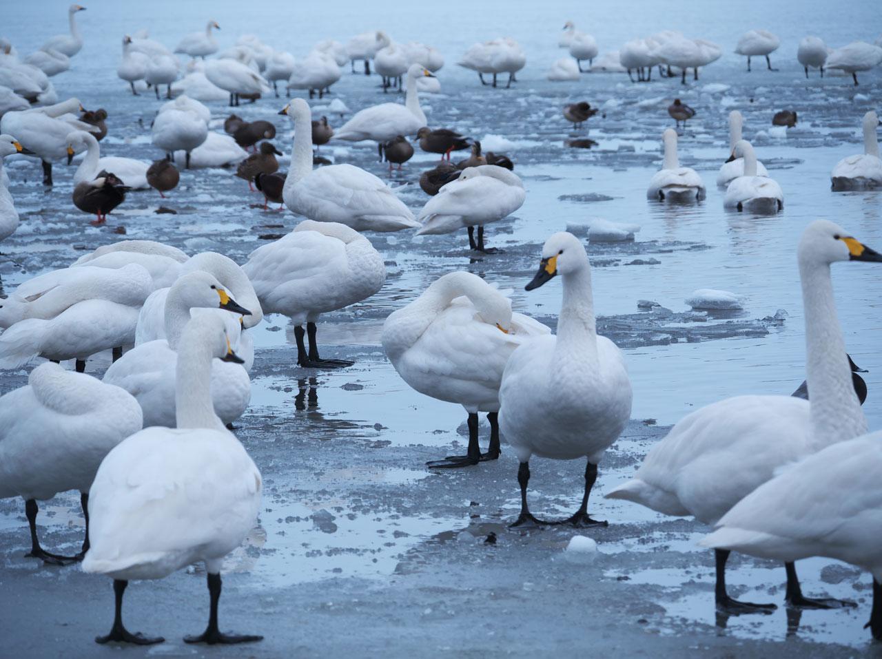 冬の瓢湖4:LUMIX DMC-G99+LEICA DG VARIO-ELMAR 100-400mm/F4.0-6.3