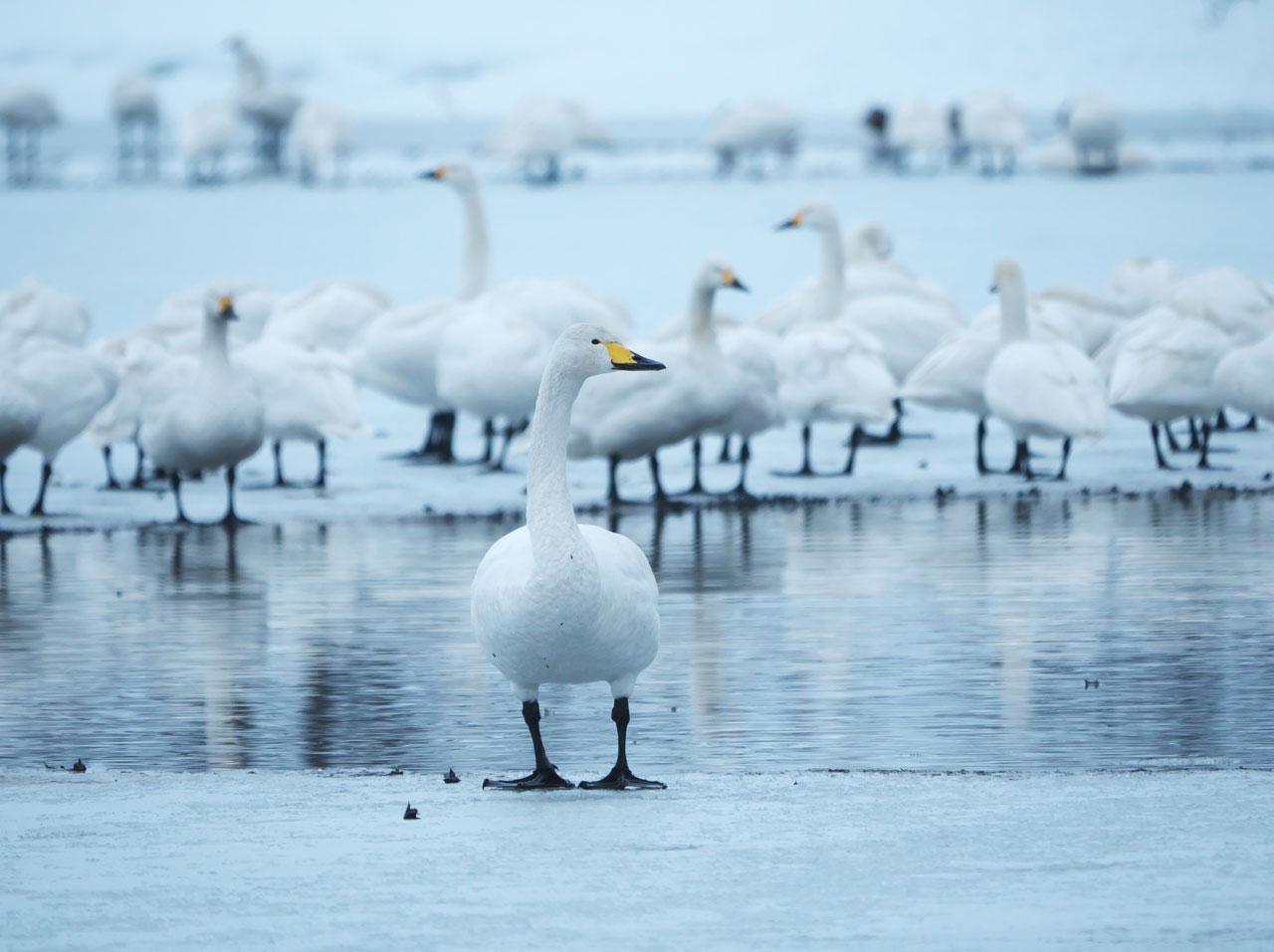 冬の瓢湖6:LUMIX DMC-G99+LEICA DG VARIO-ELMAR 100-400mm/F4.0-6.3