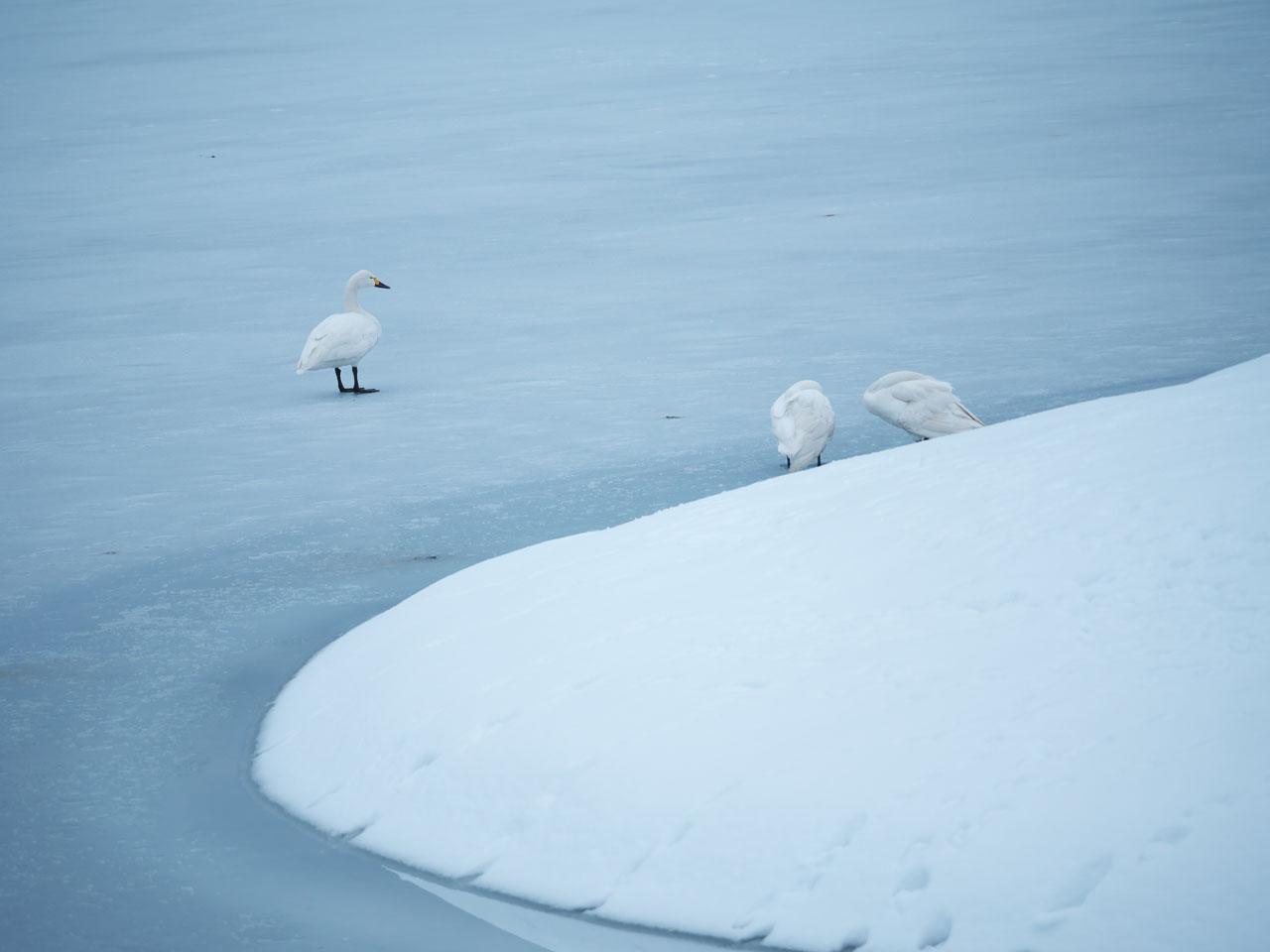 冬の瓢湖7:LUMIX DMC-G99+LEICA DG VARIO-ELMAR 100-400mm/F4.0-6.3