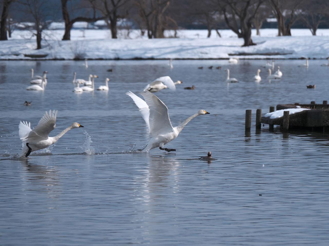 瓢湖の白鳥1:LUMIX DMC-G99+LEICA DG VARIO-ELMAR 100-400mm/F4.0-6.3 ASPH./POWER O.I.S. H-RS100400