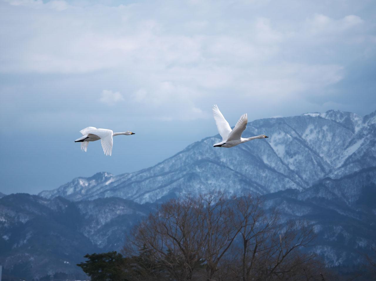 瓢湖の白鳥3:LUMIX DMC-G99+LEICA DG VARIO-ELMAR 100-400mm/F4.0-6.3 ASPH./POWER O.I.S. H-RS100400
