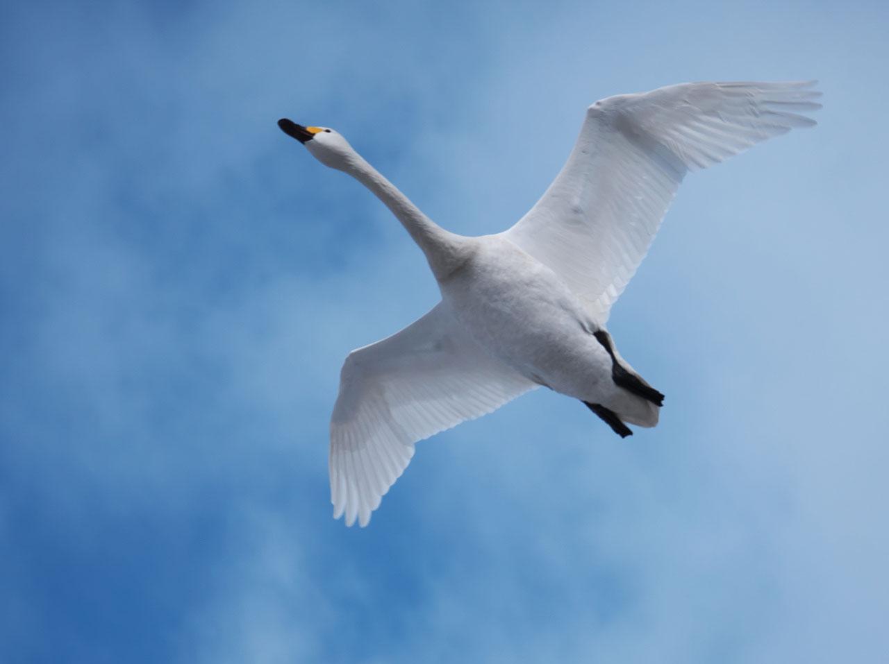瓢湖の白鳥4:LUMIX DMC-G99+LEICA DG VARIO-ELMAR 100-400mm/F4.0-6.3 ASPH./POWER O.I.S. H-RS100400