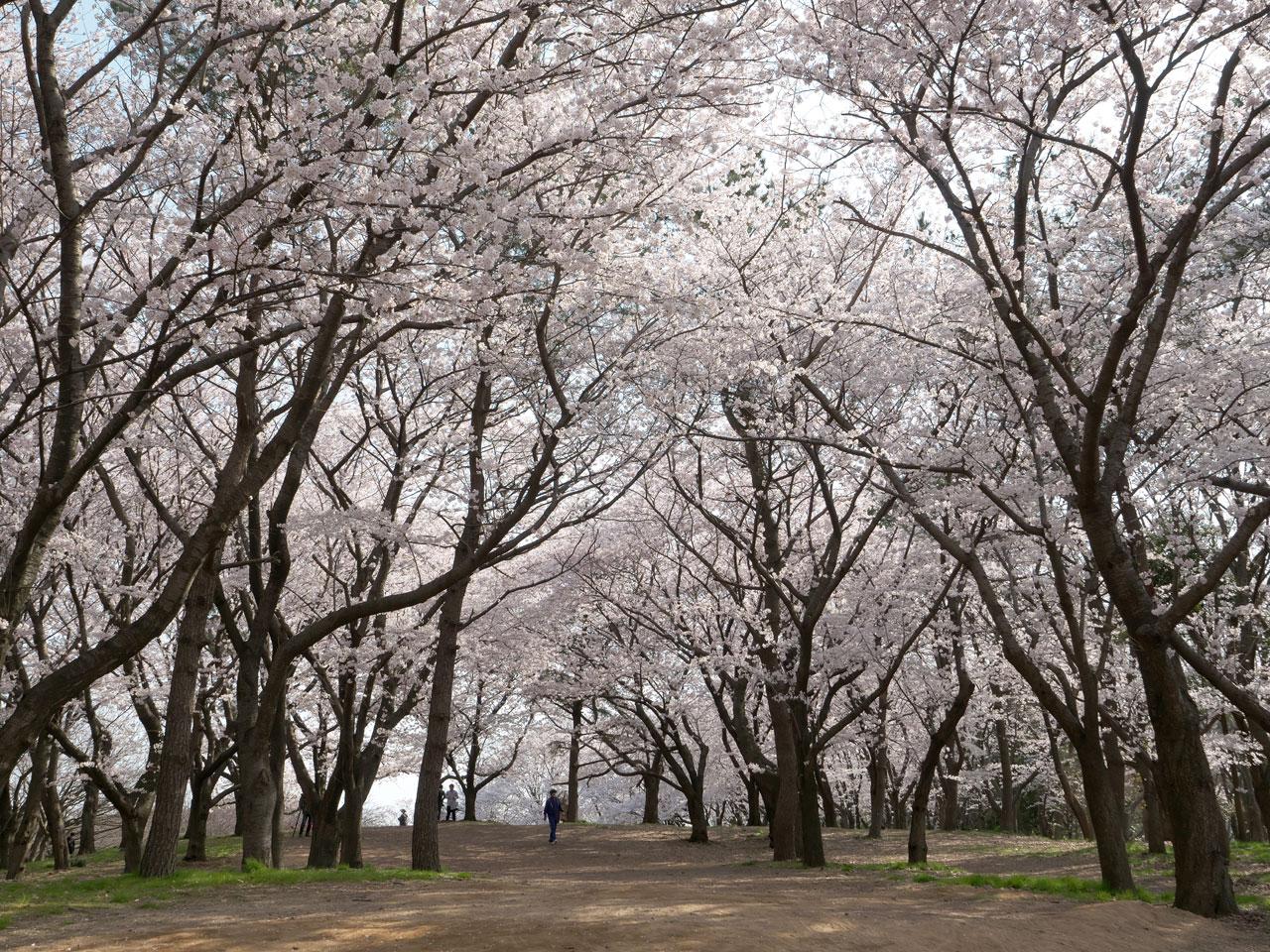 鳥屋野潟公園の桜1:LUMIX DMC-G99+LEICA DG VARIO-ELMARIT 12-60mm/F2.8-4.0
