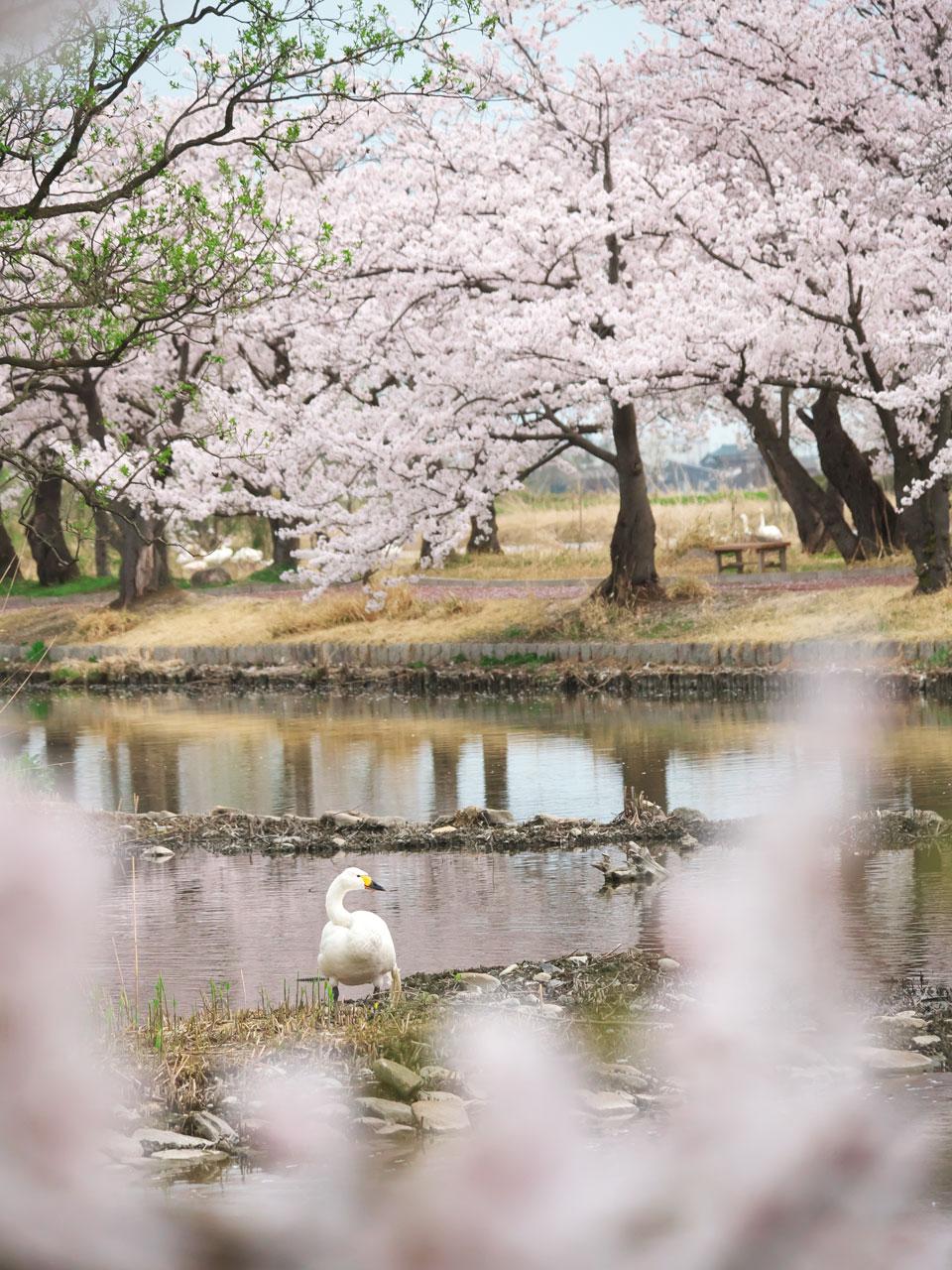 瓢湖の桜と白鳥:LUMIX DMC-G99+LEICA DG VARIO-ELMAR 100-400mm/F4.0-6.3 ASPH./POWER O.I.S. H-RS100400