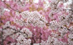 あっという間に咲いた桜を急ぎ足で撮って来た<br>~新潟県下越地方にて