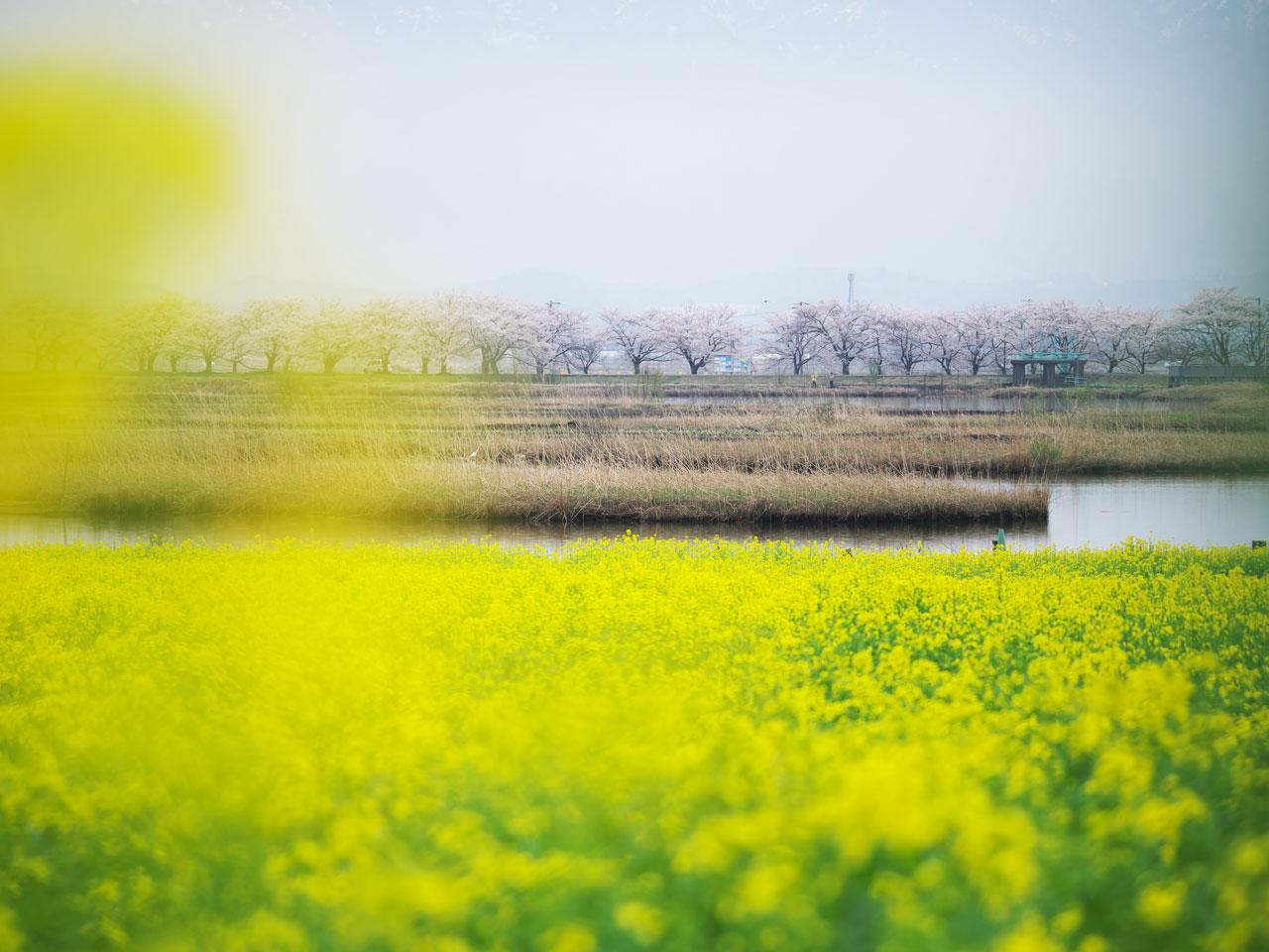 福島潟の菜の花と桜:LUMIX DMC-G99+LEICA DG VARIO-ELMAR 100-400mm/F4.0-6.3 ASPH./POWER O.I.S. H-RS100400