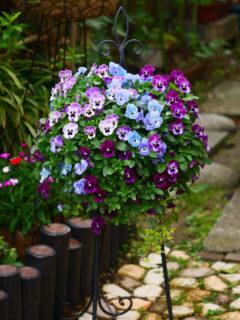チラホラ咲き始めたクレマチスと<br>モリモリのビオラの4月の庭