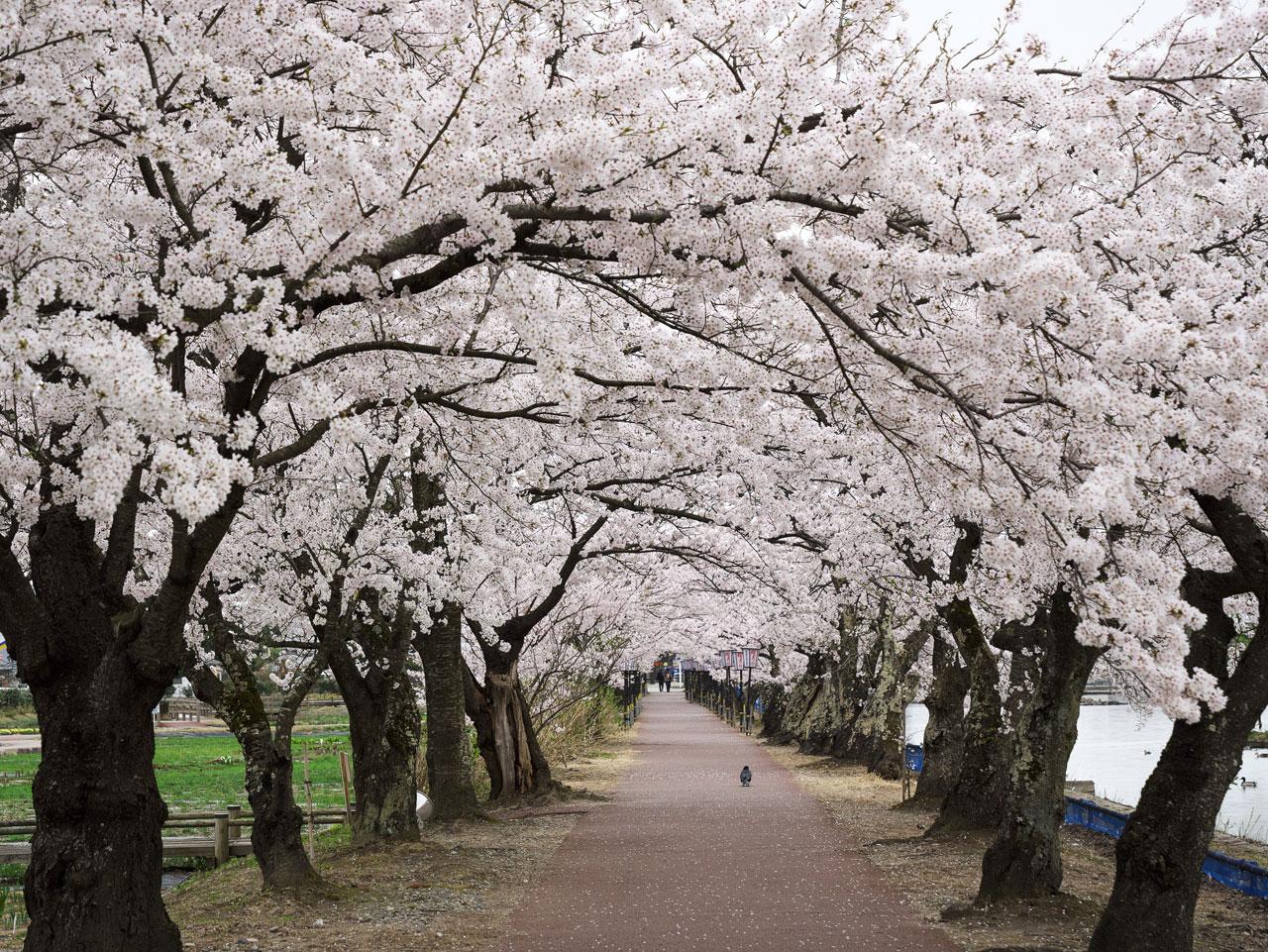 瓢湖の桜2:LUMIX DMC-GX7MK2+LEICA DG VARIO-ELMARIT 12-60mm/F2.8-4.0
