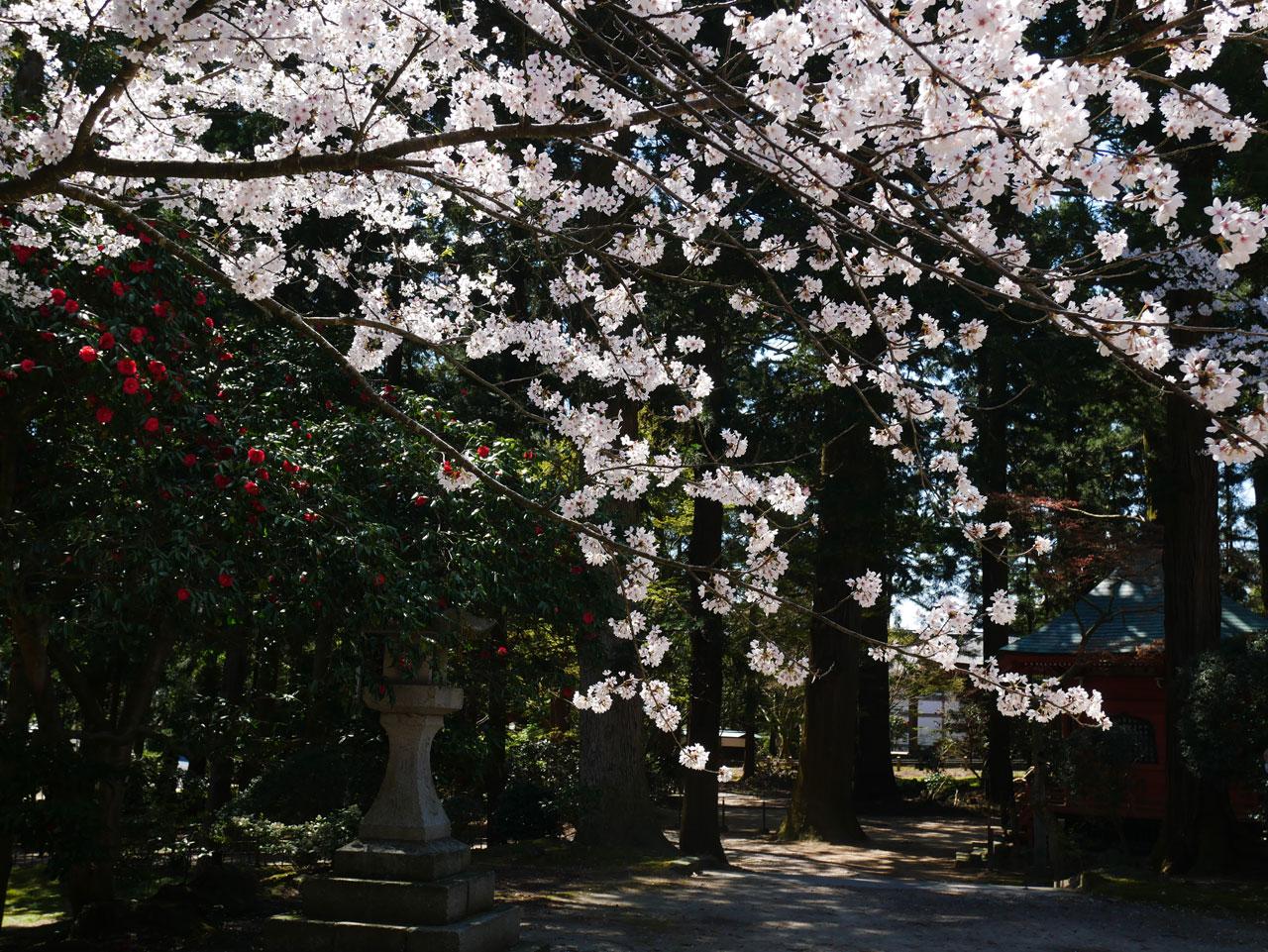 乙宝寺の桜2:LUMIX DMC-GX7MK2+LUMIX G VARIO 12-32mm/F3.5-5.6