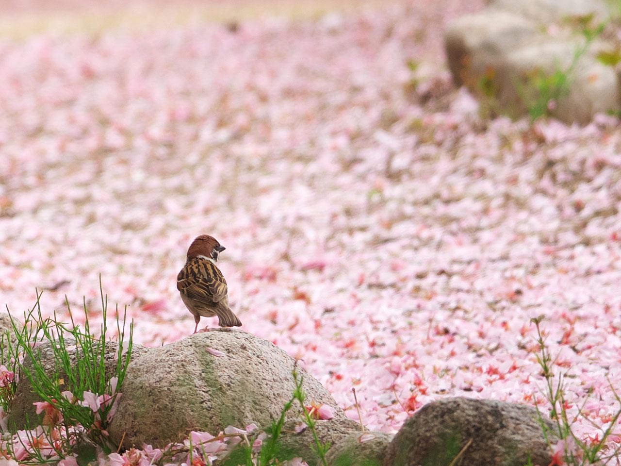 花びらの絨毯とスズメ1