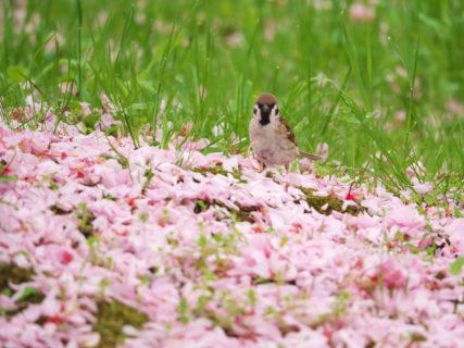 今年も見事なピンクの花びらの絨毯<br>瓢湖水きん公園(阿賀野市)にて
