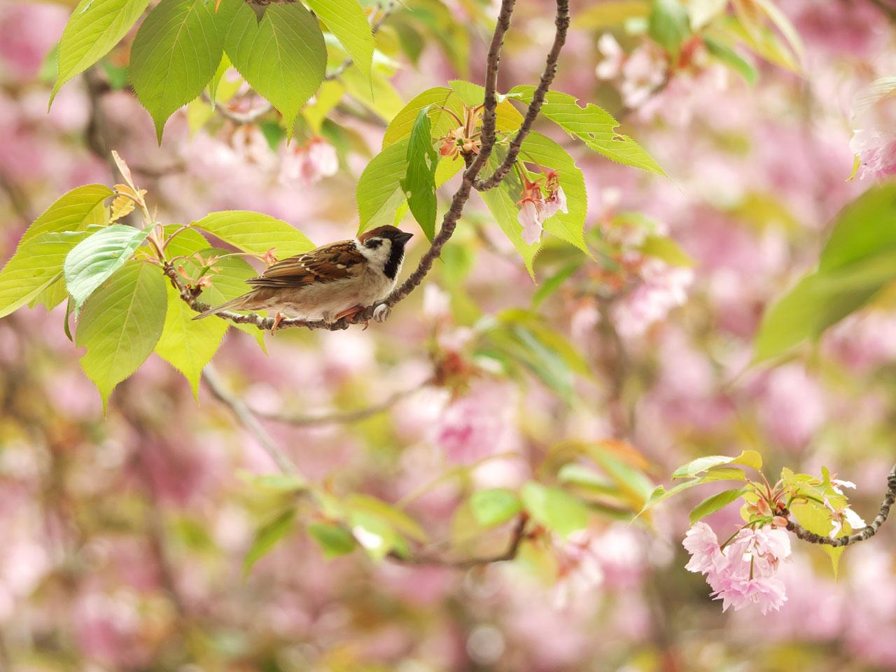 八重桜とスズメ1